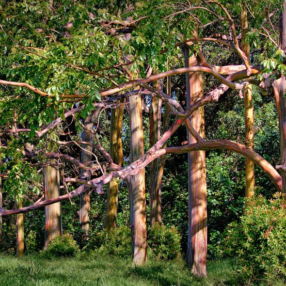 Rainbow Eucalyptus Grove - HDR